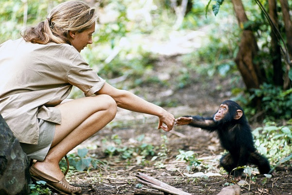 Young researcher Jane Goodall with baby chimpanzee Flint at Gombe Stream Reasearch Center in Tanganyika.